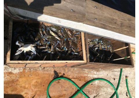Live Blue Crab $25 a dozen